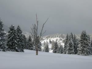 Un arbre nu étend ses branches au milieu des sapins couverts de neige